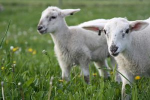 Breed more lambs, producers told at forum
