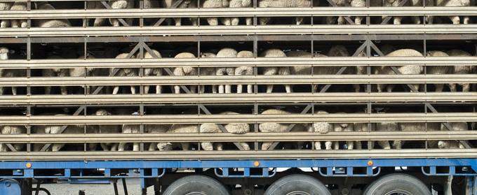 sheep_transport