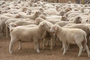 sheep-in-yards-3